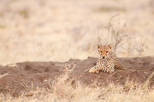 Cheetah die op droog gras kauwt met oogcontact in Tsavo East in Kenia in Afrika