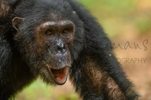 Chimpansee met open mond in close-up
