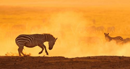 Zebra springend in het stof in oranje schemering bij zonsondergang in Amboseli in Kenia in Afrika